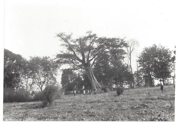 'arbre géant était un arbre royal