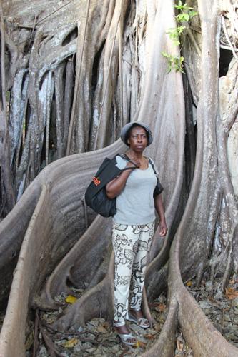 arbre de la liberté - figuiers maudits - Petit-Canal - Guadeloupe