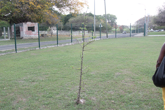baobab, l'arbre symbole de l'Afrique